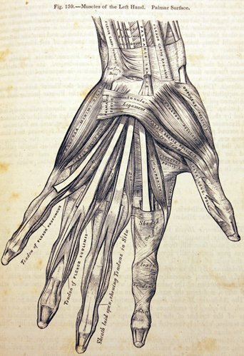 Figure 159 - Muscles of the Left Hand. Gray, Henry, and H. V Carter. Anatomy, Descriptive and Surgical. Philadelphia: Blanchard and Lea, 1859.
