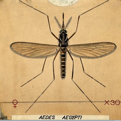 The Aedes Aegypti Mosquito, coloured drawing by Amedeo John Engel Terzi. Courtesy of the Wellcome Library, London, Wellcome Images: images@wellcome.ac.uk